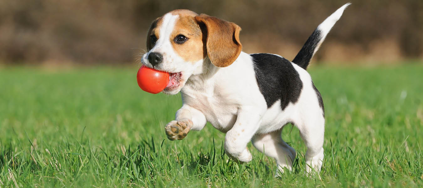 beagle puppy running with red ball in mouth